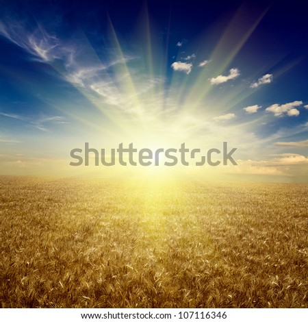 field of wheat. meadow wheat under sky