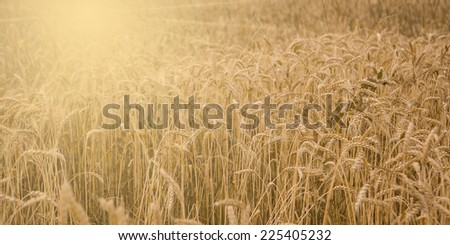 Field of wheat ready to be harvested.