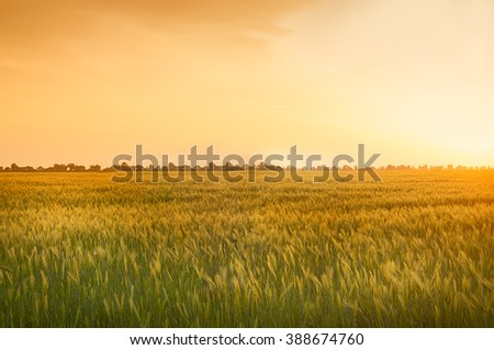 Field of wheat, rye, disappearing over the horizon in a sunny warm light. Far in the background, silhouettes of trees, open space. Landscape. The setting sun, dawn.  #388674760
