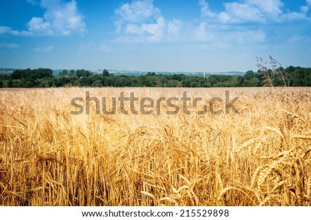 field of wheat under cloudy sky #215529898