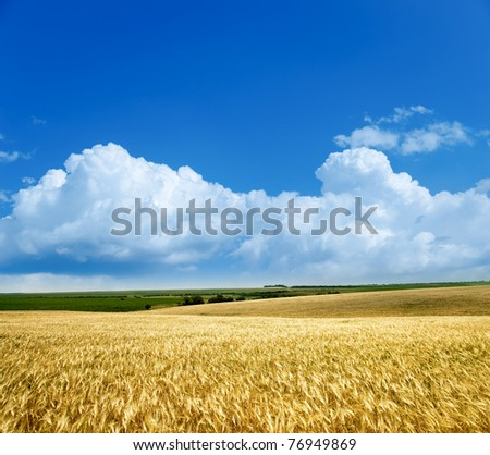 field of wheat under cloudy sky #76949869