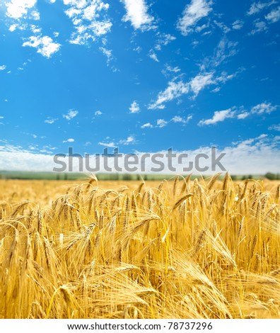 field of wheat under cloudy sky #78737296