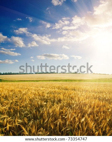 field of wheat under cloudy sky with sun #73354747
