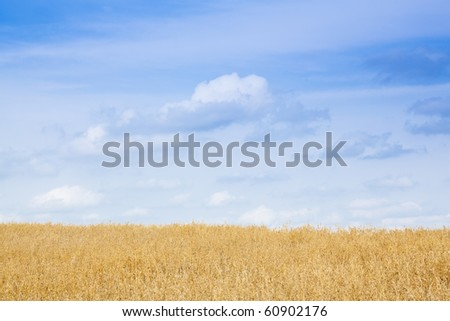 Field of wheat under the blue sky