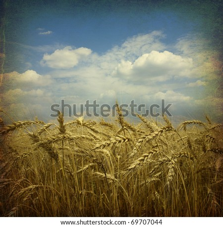 Field of wheat; vintage photo - stock photo