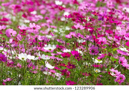 Field of White and Pink cosmos flowers  in Thailand