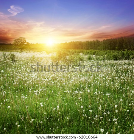 Field of white dandelions at sunset.
