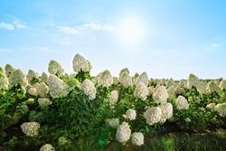 Field of white hydrangeas in summer garden, sunset light, landscape. Azores island, Portugal.