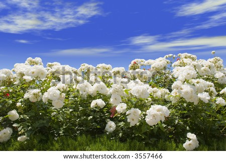 Field of white roses on a background of the blue sky