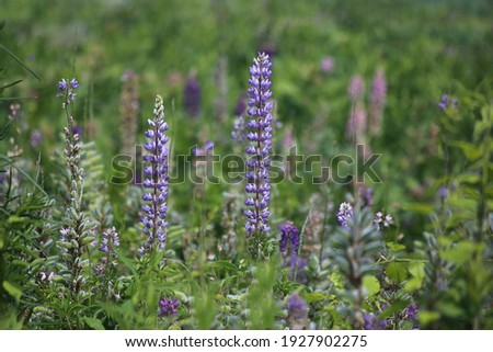 Field of wild blue and purple lupin flowers, Lupinus polyphyllus, natural large-leaved  lupine perennial colorful bloom stock photo