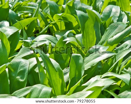 Field of wild garlic (allium ursinum)