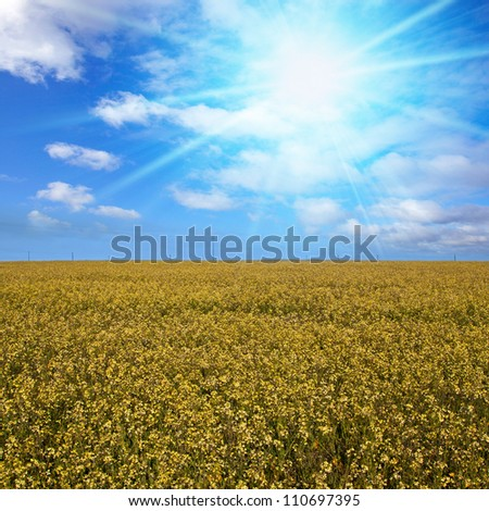 field of yellow canola flowers to the horizon against a big blue sunny sky background