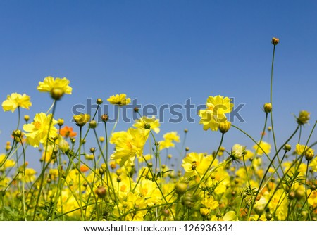 Field of Yellow cosmos flowers in Thailand