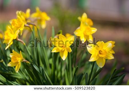 field of yellow daffodils or...