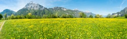 Field of yellow dandelions. Mountain peaks in the background.  Switzerland.