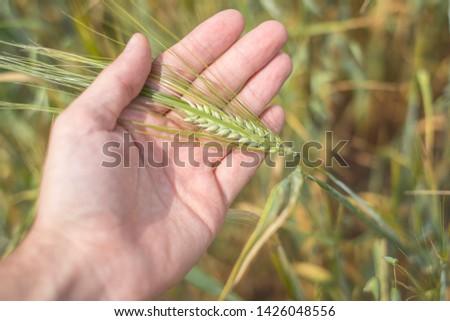 Field of yellow ears of rye. Ear of rye in hand #1426048556