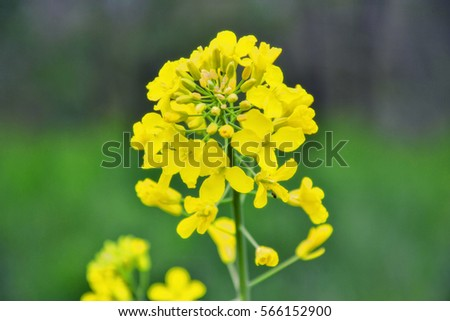 Field of yellow flowering oilseed rape in spring time (Brassica napus). Close up of blooming canola, rapeseed plant landscape. Slovakia #566152900