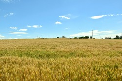 Field of yellow-green wheat and in the background the Sanctuary of Santa María de la Estrella, XV century.