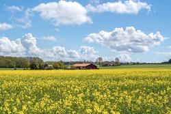 Field of yellow rape against the blue sky in Sweden