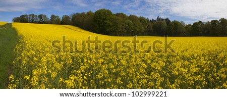 Field of Yellow Rape (Brassica napus) with blue sky as background