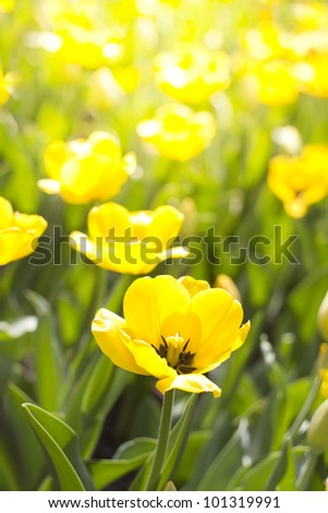 field of yellow tulips in the sun