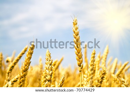 field of yellow wheat and sun beams