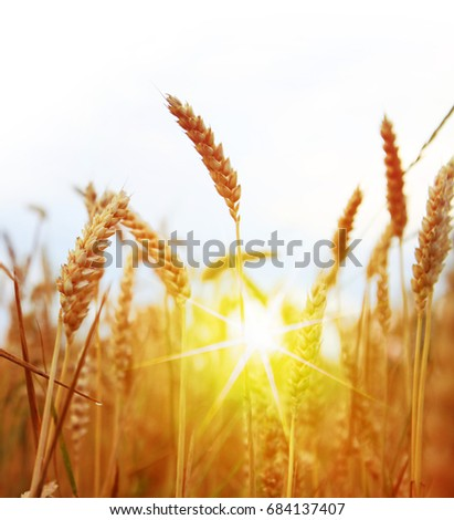 Field of yellow wheat at sunny day, harvesting time #684137407