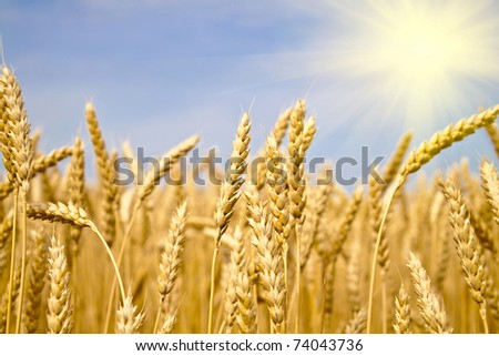 field of yellow wheat in sun rays