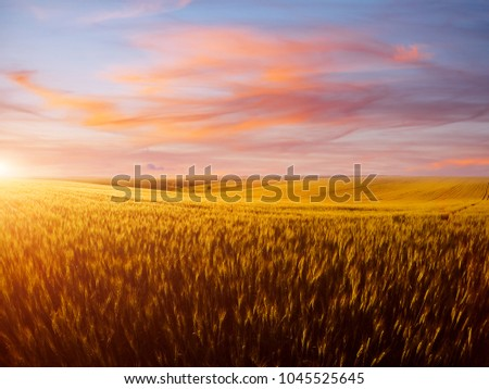Field of yellow wheat in sunset. Location rural place of Ukraine, Europe. Ecological production of natural products. Scenic image of beautiful nature landscape, amazing morning view. Beauty of earth. #1045525645