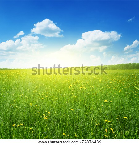 Field of yellow wildflowers at sunset time.