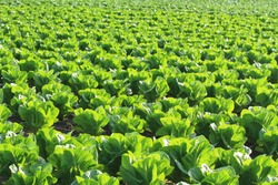 Field of young green lettuce on a farm in Gippsland Australia
