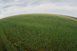 Field of young green wheat under cloudy sky fisheye lens