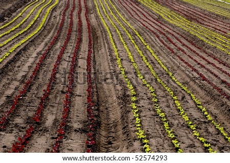 Field of young red and green lettuces