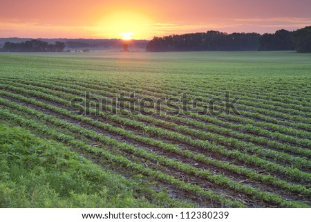 Field of young soybean plants at daybreak