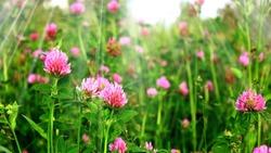 Field red clover flower (Trifolium pratense) in spring rural landscape. Medicinal herb red clover flower garden field. Pink purple clover flower, leaves herbs for tea. Trifolium plant pattern