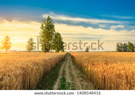 Field road and yellow wheat fields at sunset #1408548416
