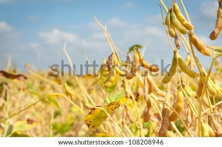 field soybeans in autumn