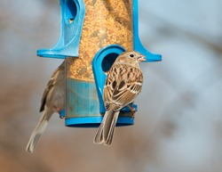 Field Sparrow eating at a bird feeder in winter