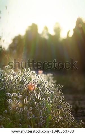 Field trefoil, hare's foot (Trifolium arvense) in the sunlight