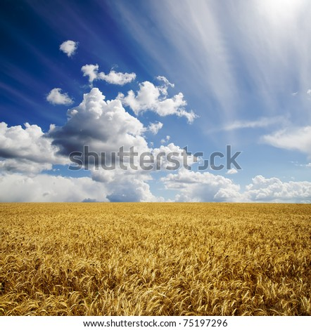 field with barley under cloudy sky
