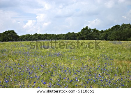 Field with blue flowers