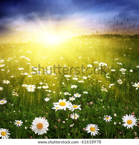 Field with daisies at sunset.