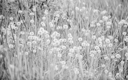 field with dandelion. Meadow of white dandelions. Summer field. Dandelion field. spring background with white dandelions. Seeds. Fluffy dandelion flower against the background of the summer landscape.