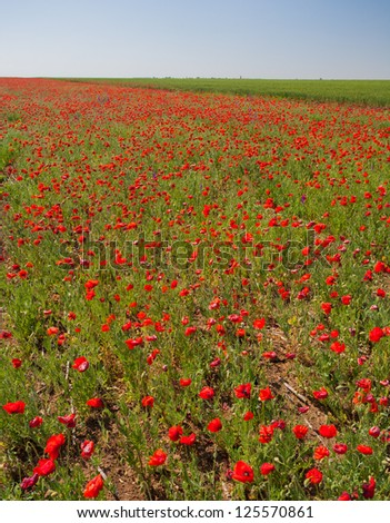 Field with flower of the poppy on background blue sky