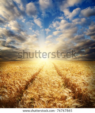field with gold barley and road in sunset
