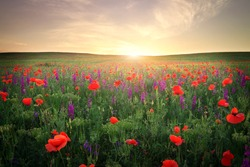 Field with grass, violet flowers and red poppies against the sunset sky