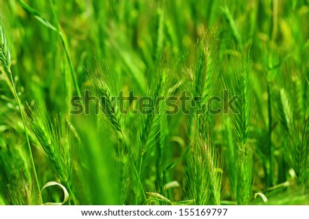Field with green ears at spring time, soft focus