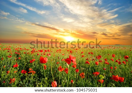 field with green grass and red poppies against the sunset sky