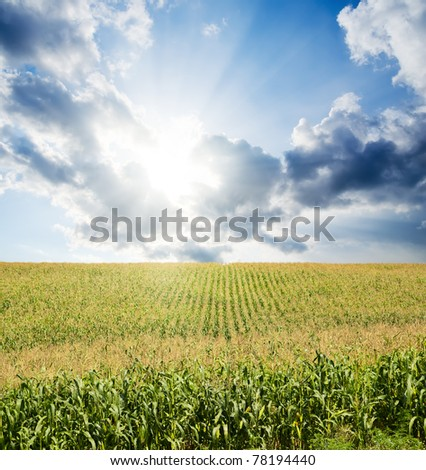 field with green maize under dramatic sky with sun
