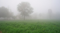 Field with green sprouts of Wheat in winter foggy morning day. Greenish blooming plant in cold haze in January winter.